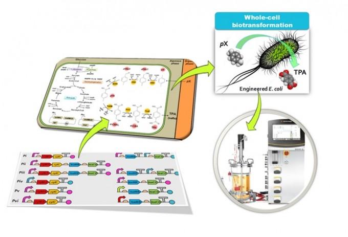발효를 이용한 플라스틱 제조 기법. 연구진은 인체에 무해한 미생물을 이용해 파라자일렌(pX)를 페트병 등의 주 원료인 테레프탈산(TPA)으로 합성하는 데 성공했다. - KAIST 제공